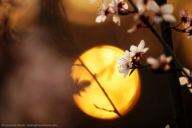 Blossoms at sunset, by Laurence Norah