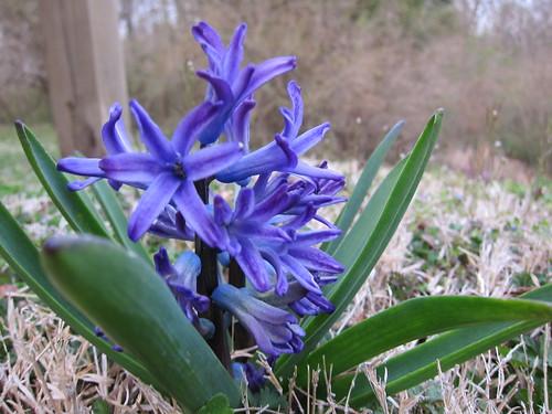 hyacinth 2014