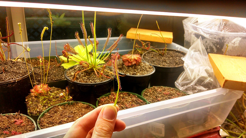 Drosera capensis leaf cutting.