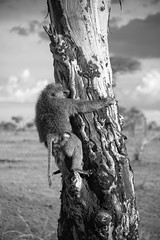 The Serengeti in Black and White - 2017