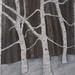 Betula papyrifera -- Paper Birch