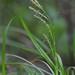 Wood Sedge - Carex sylvatica
