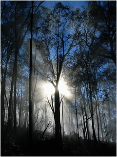 Mantled in mist, the gum trees of Baranduda gliste