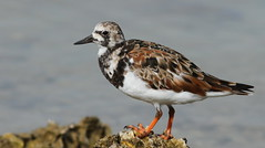 Ruddy Turnstone- Hudson Beach, Florida