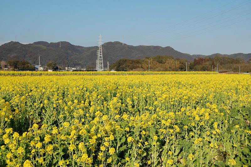 鴨川 菜の花ロード