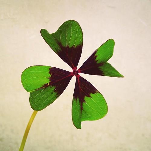 Minha sorte tirei no trevo de quatro folhas... Sorte é isto. Merecer e ter. #feriadao #sorte #