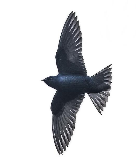 Purple Martin (Progne subis) male