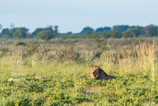Löwenpärchen in der Central Kalahari