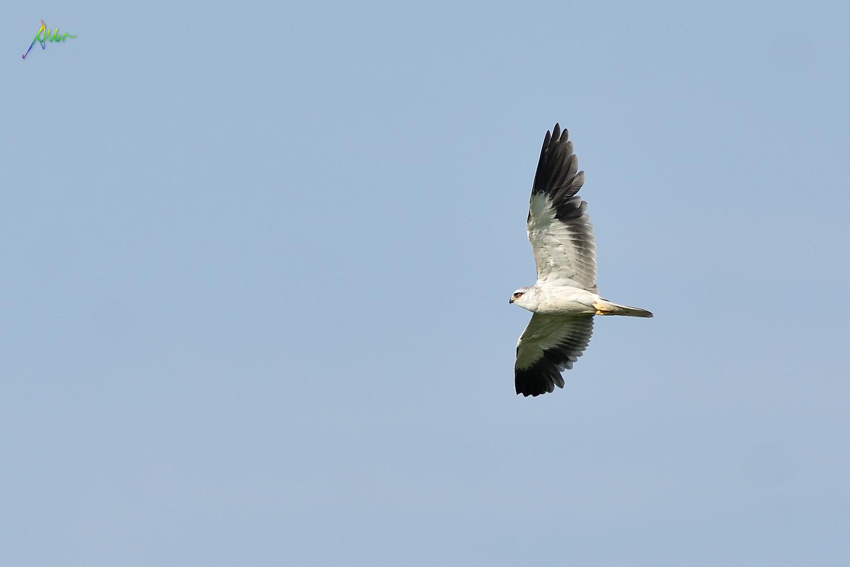 Black-winged_Kite_5628