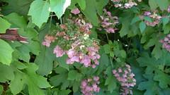 The Oakleaf Hydrangea at Old Westbury Gardens