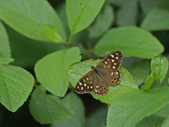 Speckled wood 120616 6648