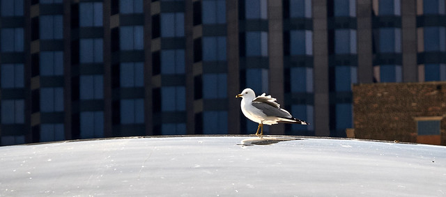 Lake gull on top of the world