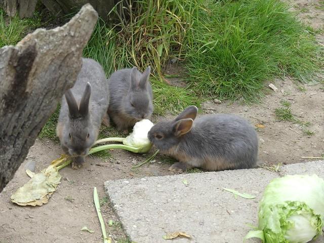 Kaninchen, Zoo Karlsruhe