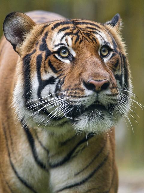 Malayan tiger looking upwards