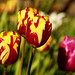 The Tulip Corner! by Jay Bees Pics