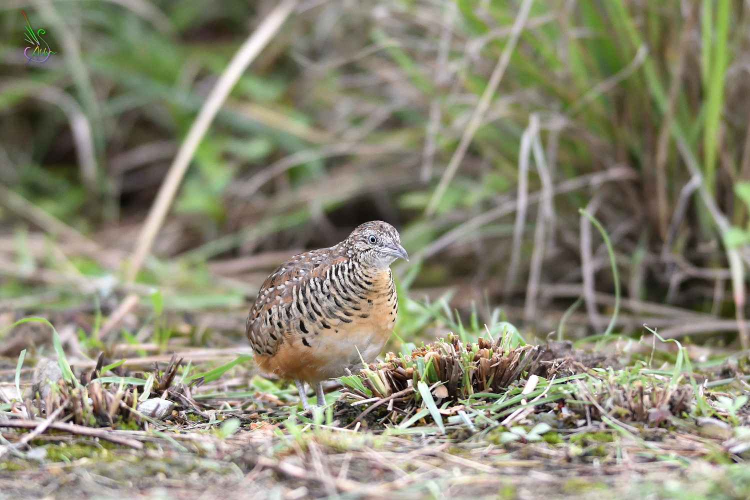 Barred_Buttonquail_2194