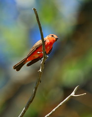 Vermilion Flycatchr