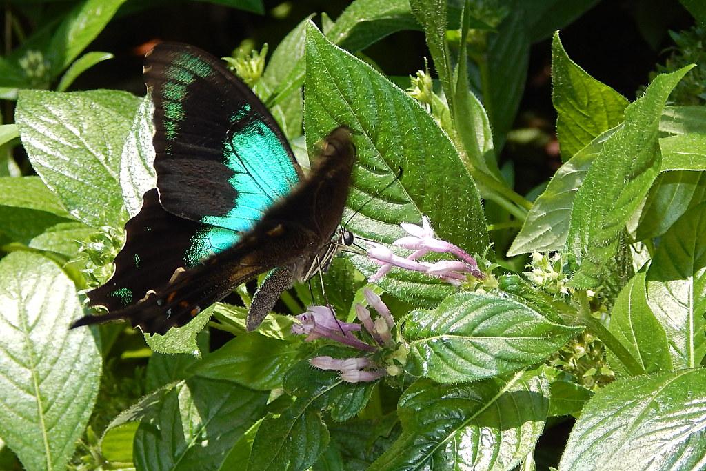 Papilio peranthus transiens (Balinese peacock); Sentosa Butterfly Garden, Sentosa Island, Singapore