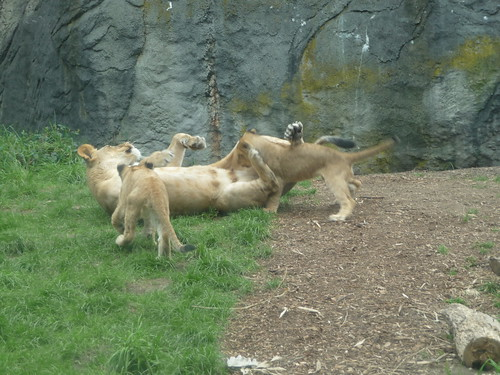 Lioness & Cubs at Woodland Park Zoo by MrLupori