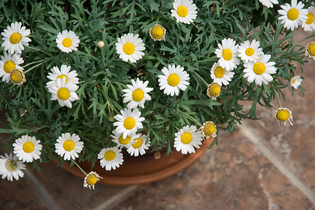 potted daisy plant