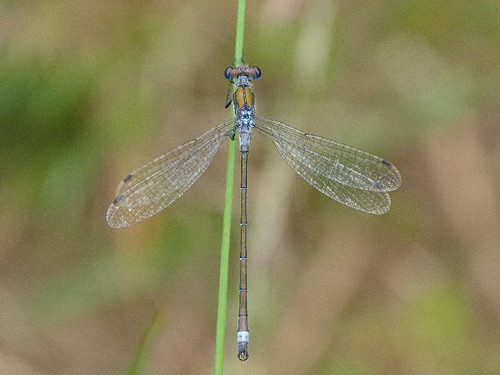 Emerald Damselfly by Peter Orchard