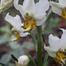 Gavilea longibracteata flor Coltauco 091108 by strathes