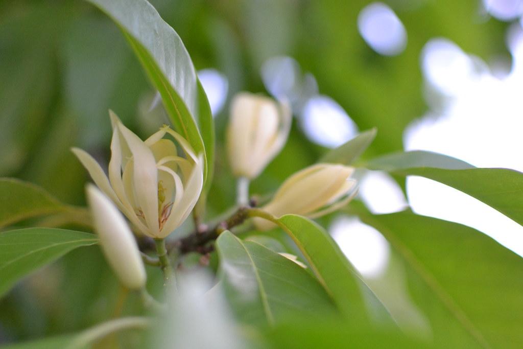 White jade blossom