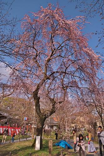 【写真】2013 桜 : 平野神社/2021-01-09/IMGP8703