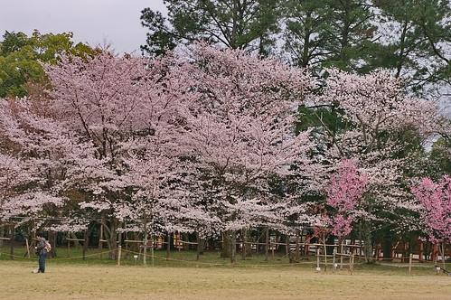 【写真】2013 桜 : 上賀茂神社/2020-09-09/IMGP9522
