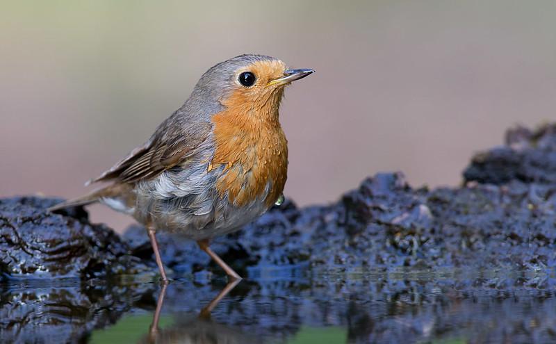 Robin - always photogenic