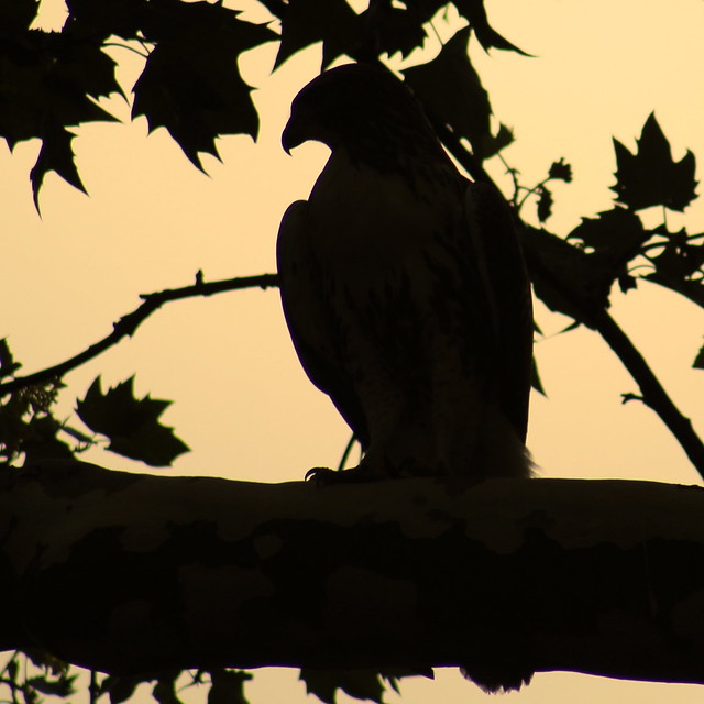 red-tailed hawk silhouette | Flickr - Photo Sharing!