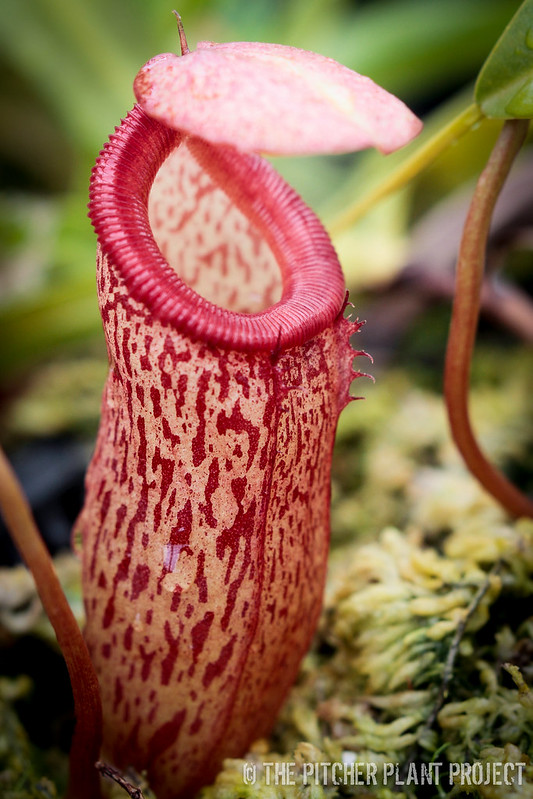 Nepenthes ventricosa x talangensis
