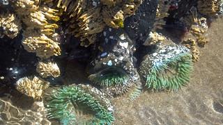 Tidal Pools - Anemones