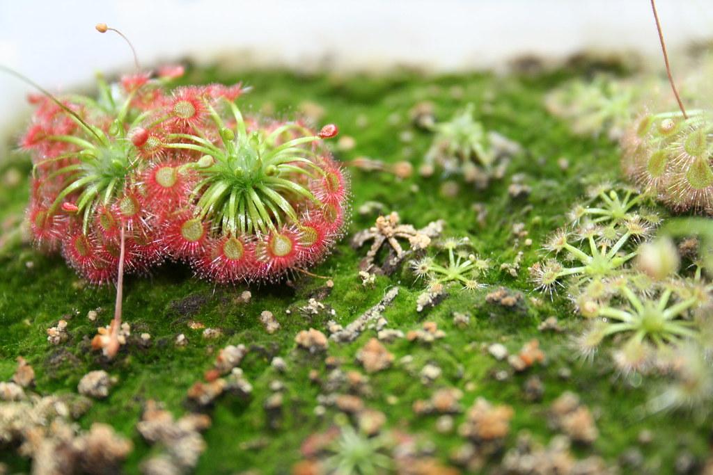 pygmy Drosera  toodyay pink