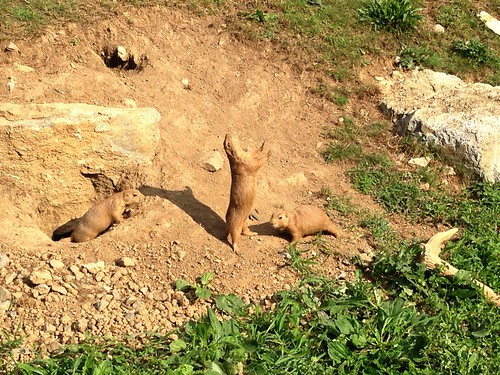 ZooAmerica Prairie Dog Fight
