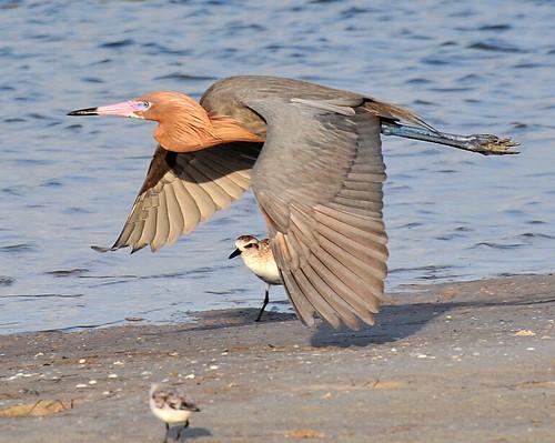 nature birds egrets shorebirds marcoisland reddishegret tigertail floridabirds tigertailbeach