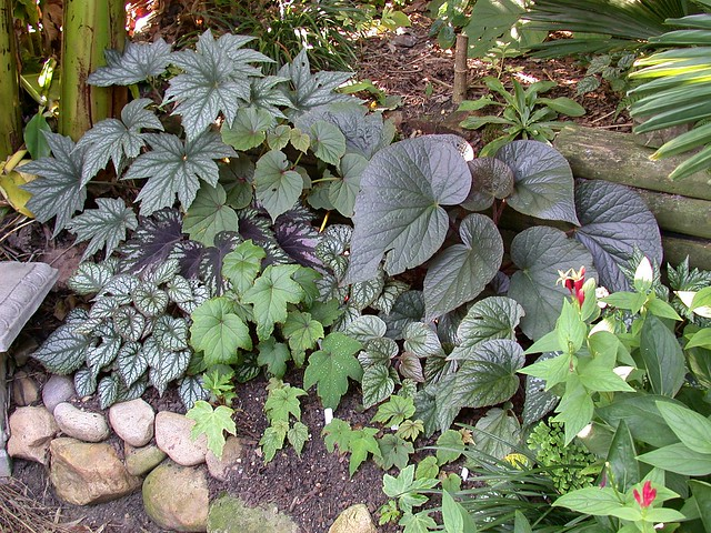 Begonia bed