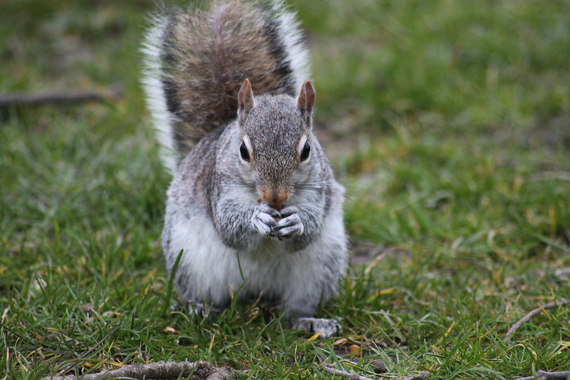 Grey Squirrel by grubby1949