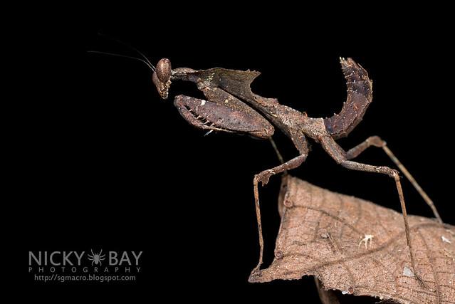 Dead Leaf Mantis (Deroplatys sp.) - DSC_3073