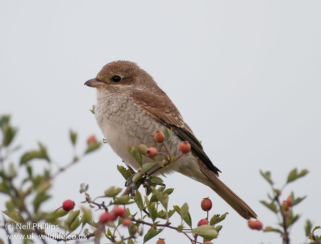 red backed shrike-8