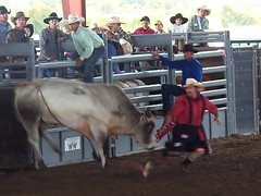 animal sports, rodeo, cattle-like mammal, bull, event, sports, cattle, bull riding,