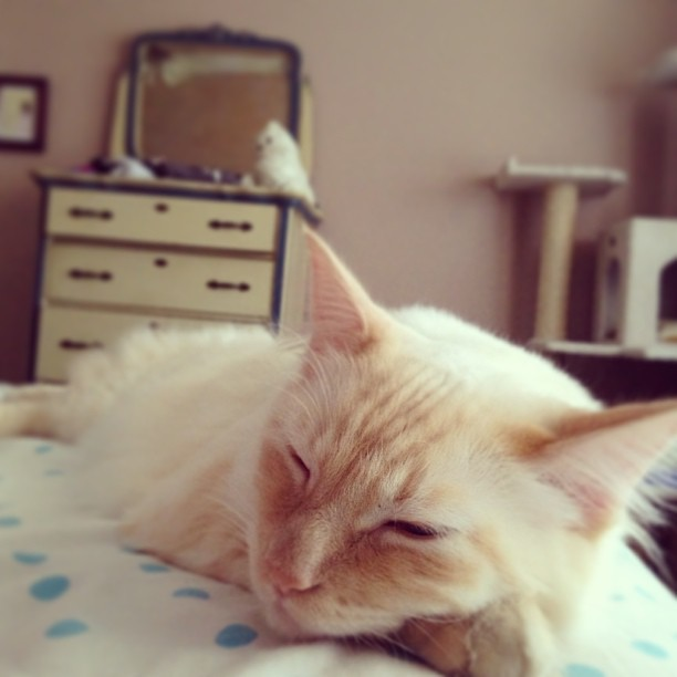 Nap. #ragdoll #siamesecat #flamepoint #cute #love #beautiful #happy #pretty #instalove #Instag_app #cat #petstagram #catstagram #cutie #pets #kitty #catlovers #catsofinstagram #animal #sweet #life #catlover #ilovemycat #ilovemypet #instapets #petsagram #m