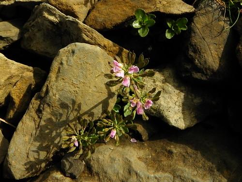 Thlaspi rotundifolium=Tabouret à feuilles rondes (2)