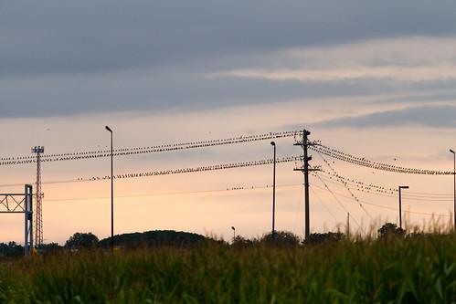 bird birds canon illinois midwest troy september powerlines 2013 eos7d