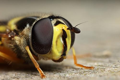 Hoverfly Dasysyrphus albostriatus #6 by Lord V
