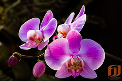 flower, purple, phalaenopsis equestris, flora, moth orchid, close-up, petal,