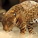 Tigre viejo IMG_1246 por fernandodelatorre46
