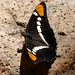 Small photo of Arizona Sister . Adelpha eulalia