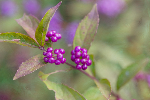 Beauty Berry~ by conniee4 aka Connie Etter
