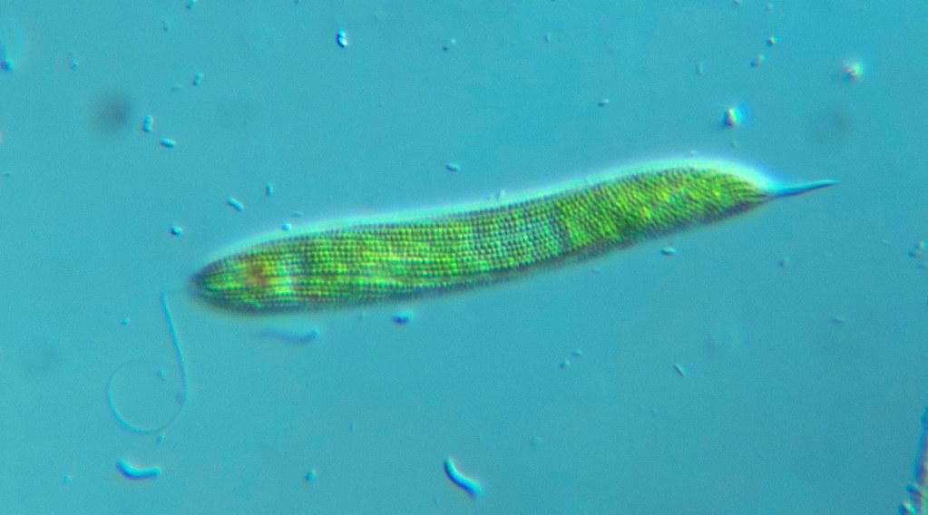 Lepocinclis tripteris - 400X - 2